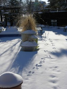 The morning sun highlights the path of my friend rabbit who perhaps came to  the garden for a frozen salad.