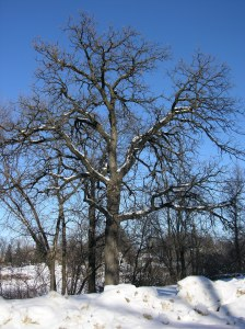 One of the beautiful bur oaks in our world.