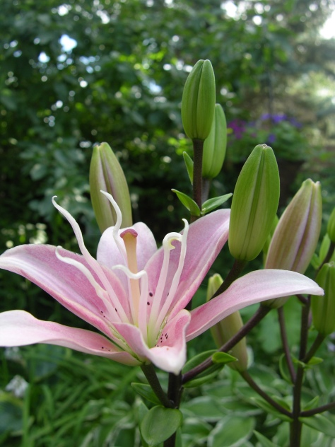 """Pick me! Pick me!"" the lily begs of the bee."