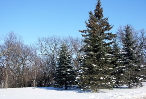 The evergreens offer protection from the bitter winds as they add color to the winter landscape.