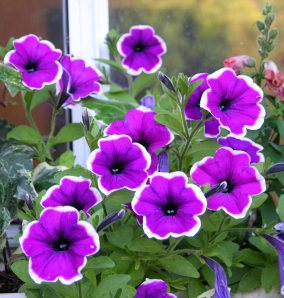 A picotee petunia. picotee simply refers to the white edge, This one was magenta and white.