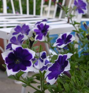'Rhythm and blues' Petunia.