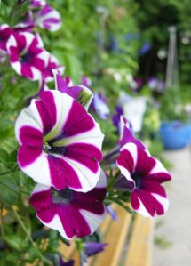 A closeup of the magenta and white striped petunia.