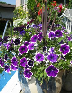 Pictoee petunia in a pot. I think this one went under the name of 'Rhythm and Blues'.