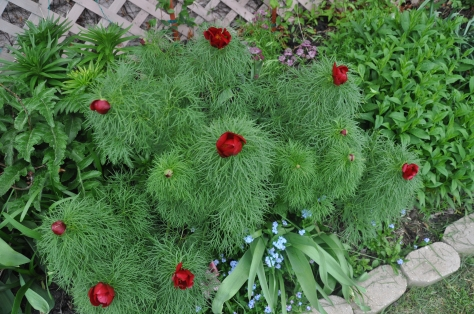 The fernleaf peony is one of the earliest risers in the garden.