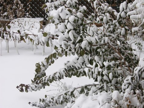 snow on smokebush