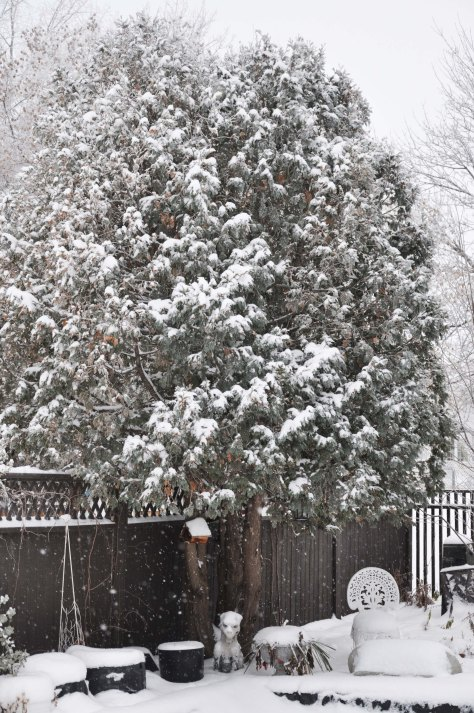 Cedars covered with snow