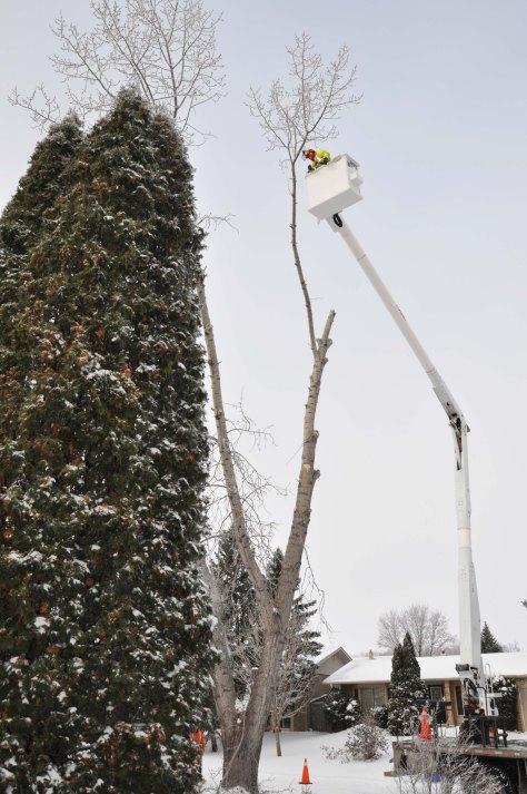 Poplar being felled.