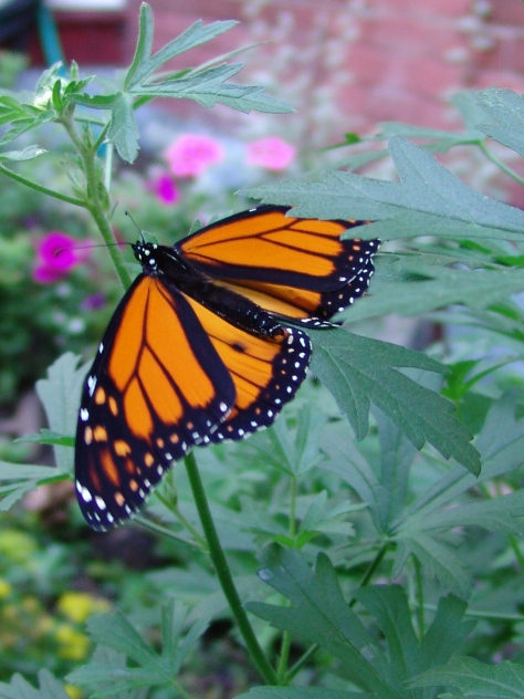 A monarch visits the garden with a flash of brilliant orange wings.