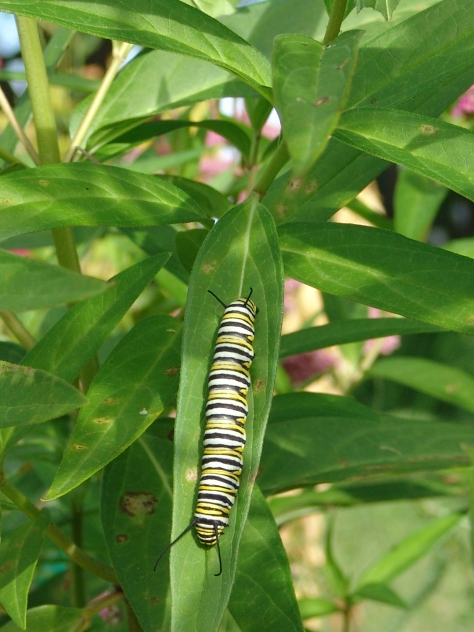 A monarch caterpillar, fat with milkweed.