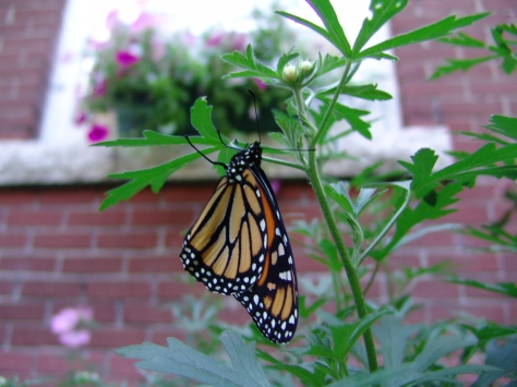 The female monarch butterfly is lighter in colour than the male.