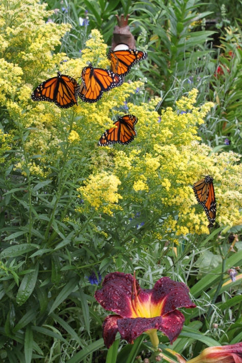 A flutter of monarchs on their favourite flower: goldenrod.