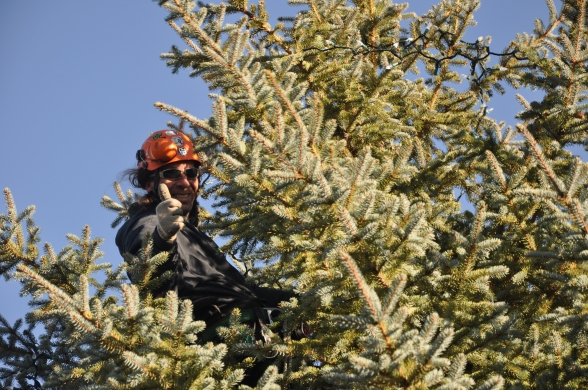 Dave Lutes of Treewise hangs lights in our 35-foot blue spruce.