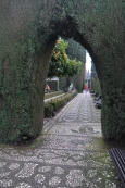 Through the leylandii.