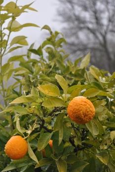 snow oranges granada