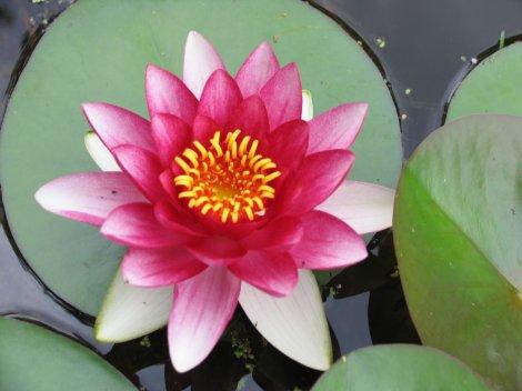 water lily, Nicotiana sylvestris